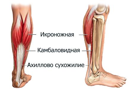 anatomiya-ikr-stroenie